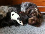 7 pups voor Brixa